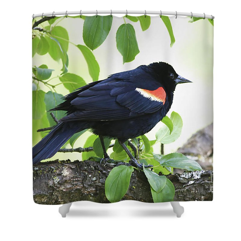 Bird Shower Curtain featuring the photograph Red Winged In Montreal by Deborah Benoit