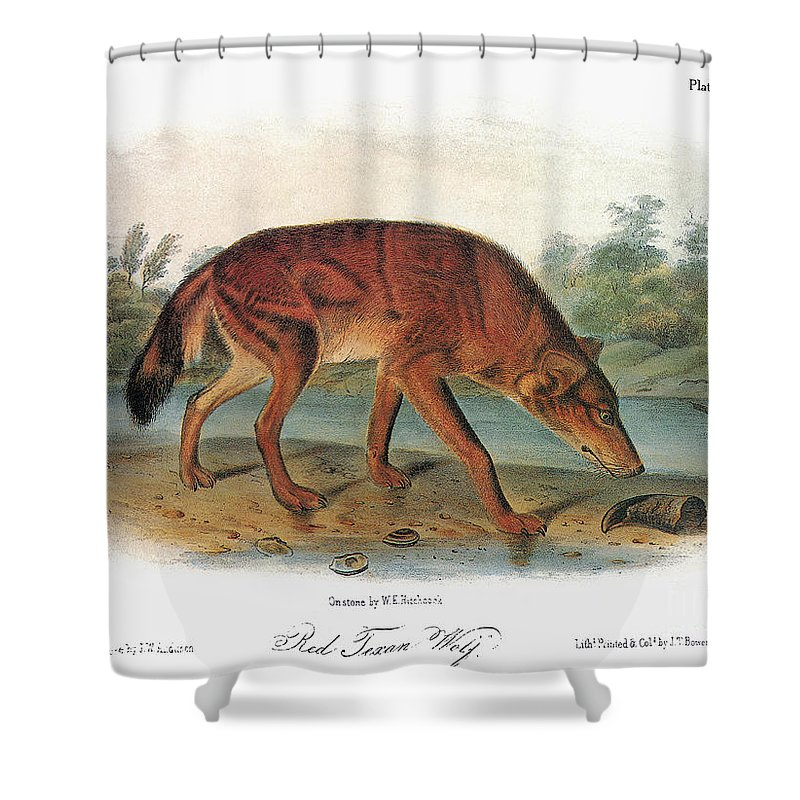 1846 Shower Curtain featuring the photograph Red Wolf (canis Lupus) by Granger