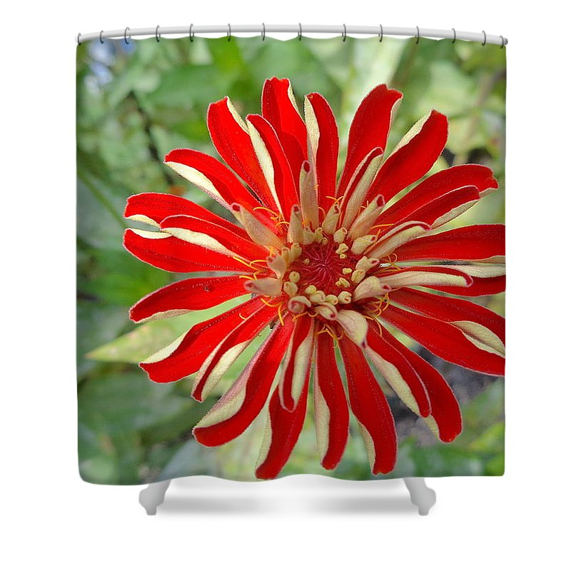 Red Shower Curtain featuring the photograph Red Zinnia by Wendy Yee