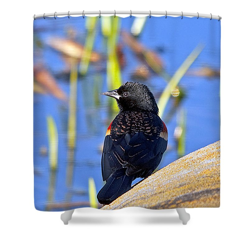 Wildlife Shower Curtain featuring the photograph Redwinged Blackbird by Kenneth Albin