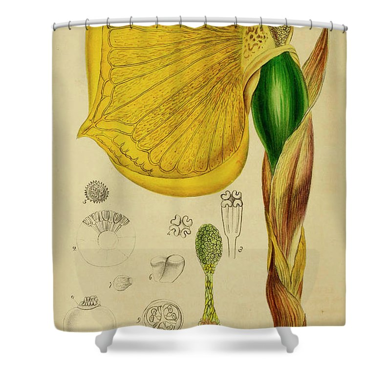 Botany Shower Curtain featuring the painting Remusatia Vivipara Xxx by Unknown