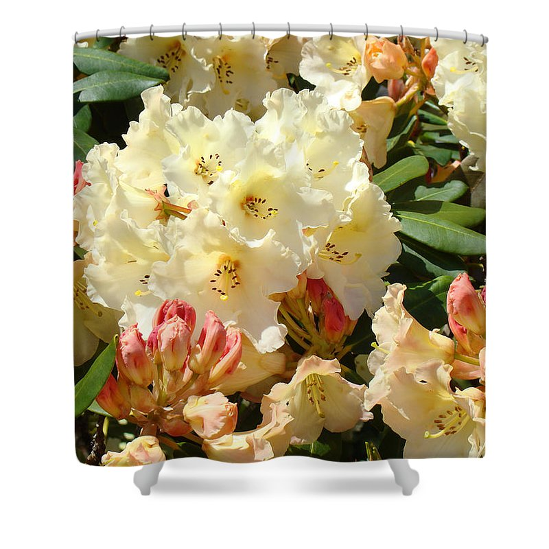 �azaleas Artwork� Shower Curtain featuring the photograph Rhodies Creamy Yellow Orange 3 Rhododendrums Gardens Art Baslee Troutman by Baslee Troutman