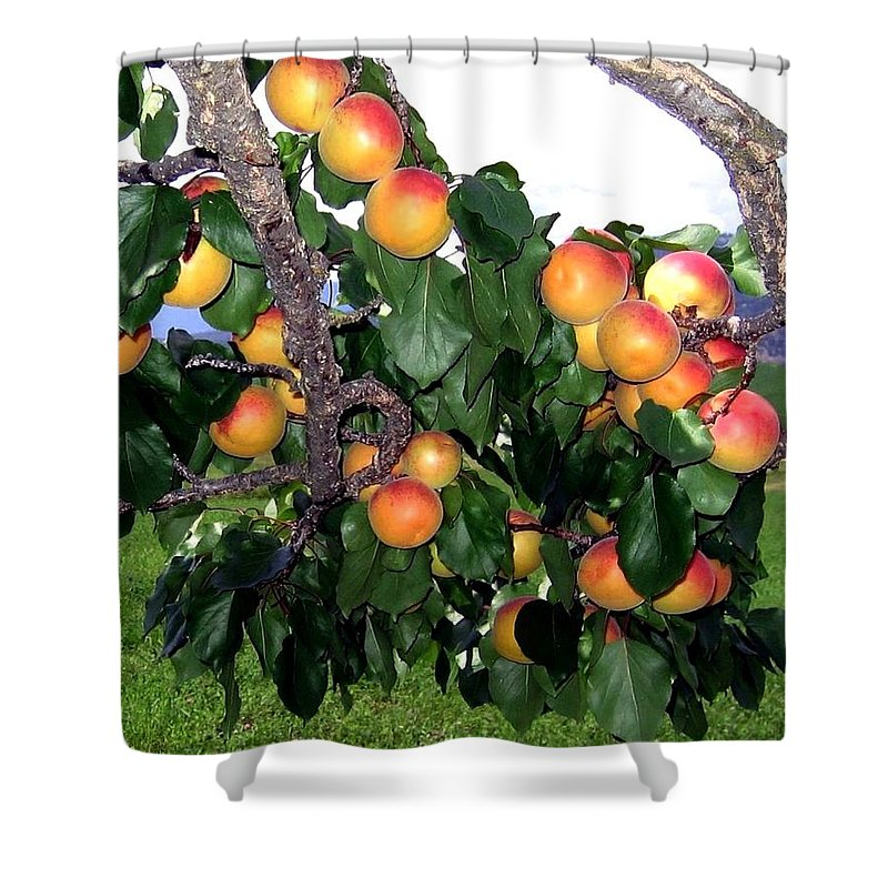 Apricots Shower Curtain featuring the photograph Ripe Apricots by Will Borden