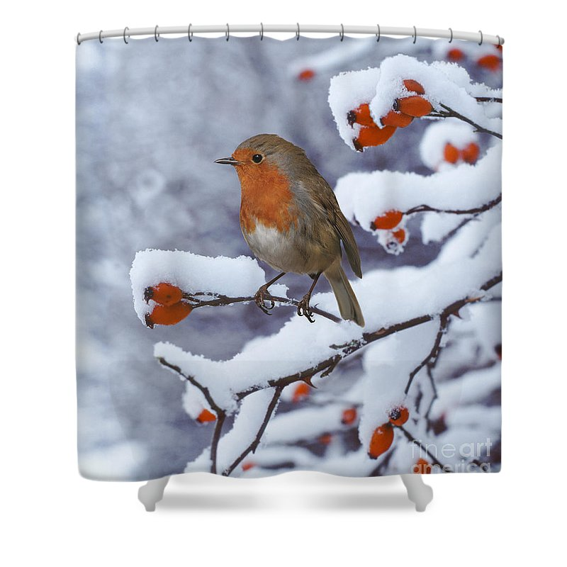 European Robin Shower Curtain featuring the photograph Robin On Snow-covered Rose Hips by Warren Photographic