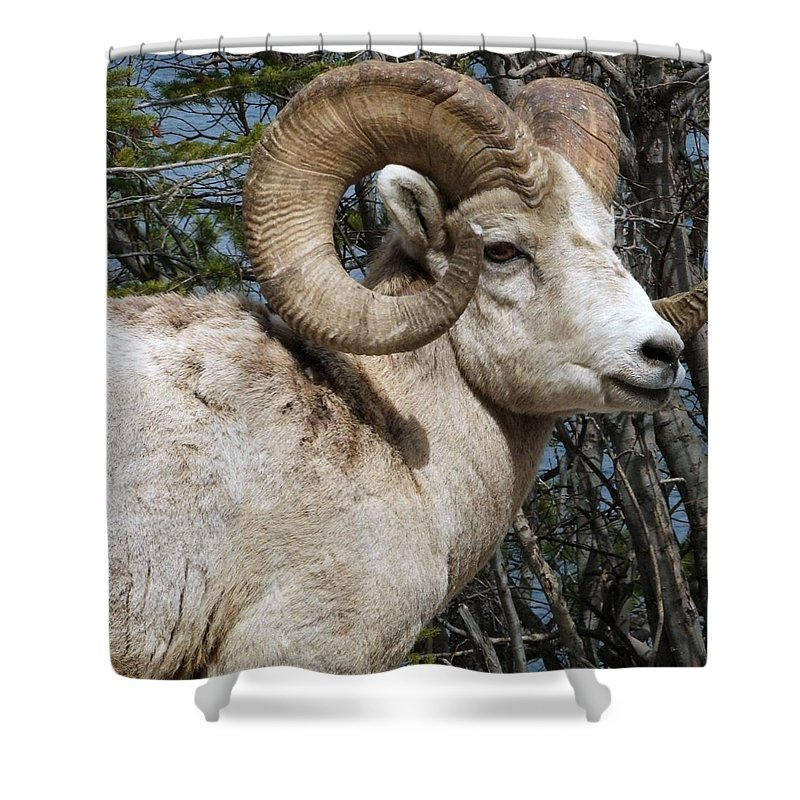 Wildlife Shower Curtain featuring the photograph Rocky Mountain Ram by Tiffany Vest