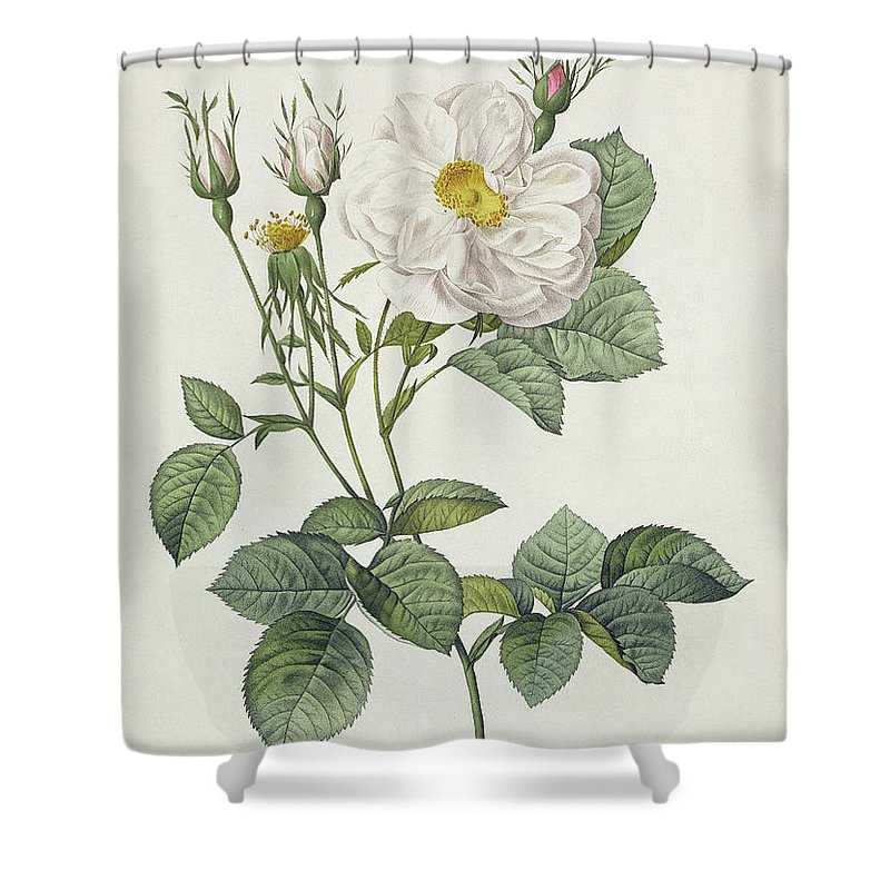 Rosa Shower Curtain featuring the drawing Rosa Alba Foliacea by Pierre Joseph Redoute