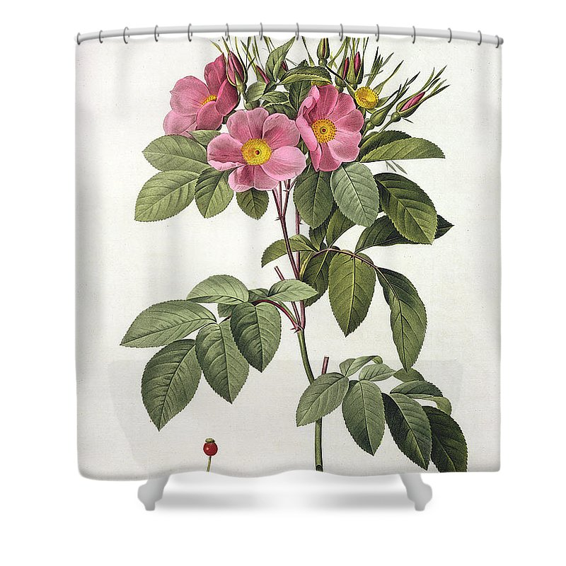 Rosa Shower Curtain featuring the drawing Rosa Carolina Corymbosa by Pierre Joseph Redoute