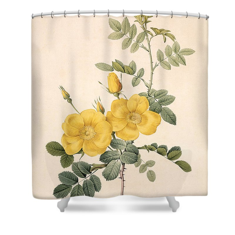 Rosa Shower Curtain featuring the drawing Rosa Eglanteria by Pierre Joseph Redoute