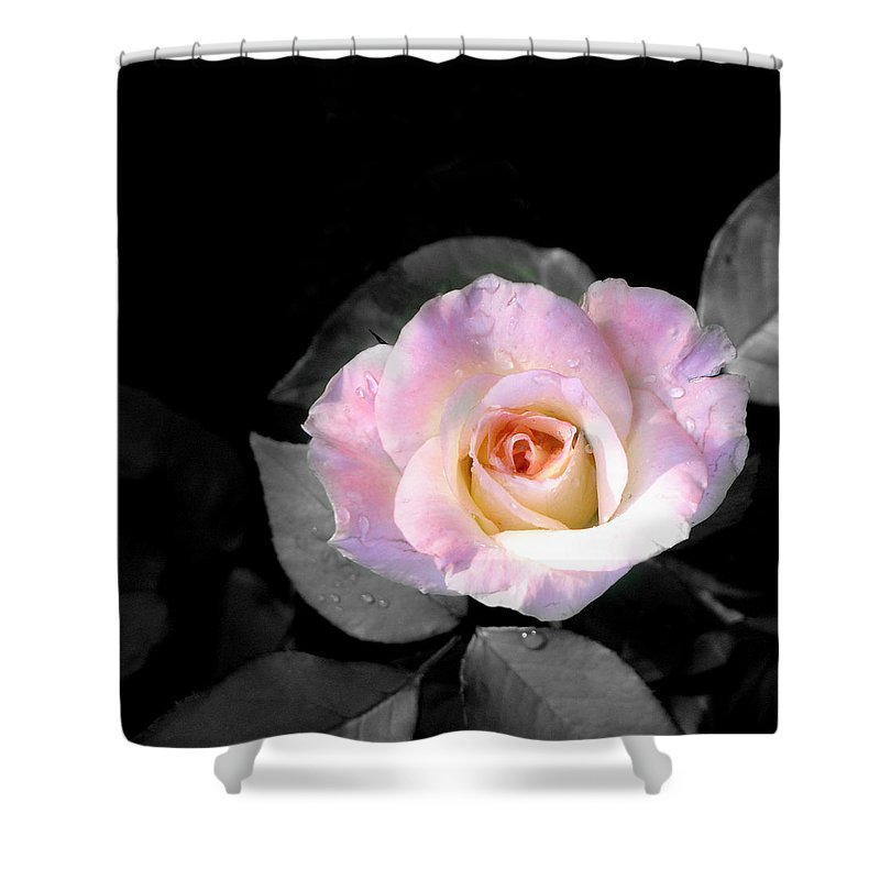 Princess Diana Rose Shower Curtain featuring the photograph Rose Emergance by Steve Karol