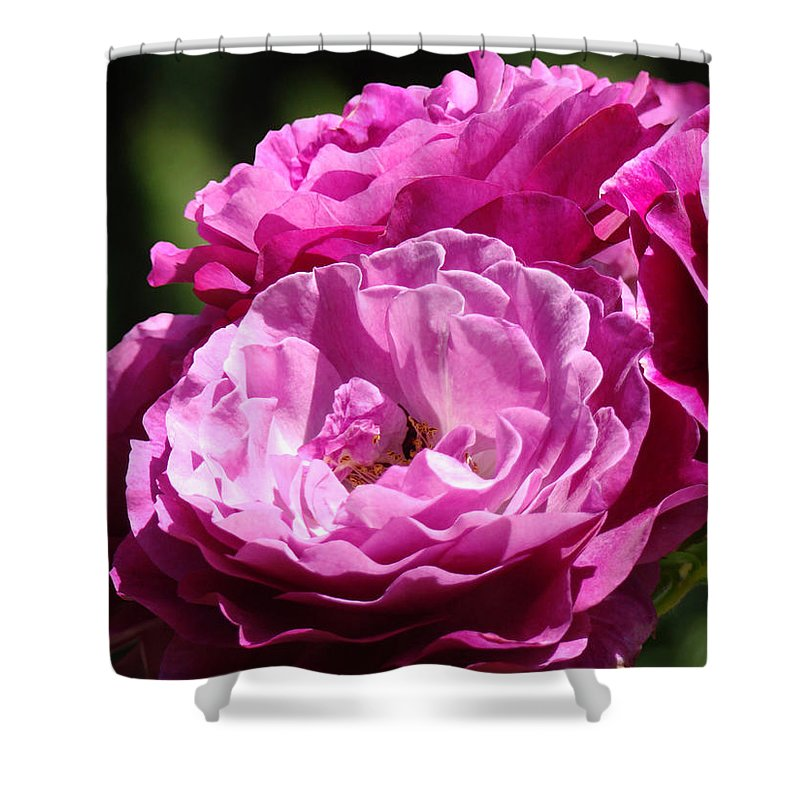 Rose Shower Curtain featuring the photograph Rose Pink Purple Roses Flowers 1 Rose Garden Sunlit Flowers Baslee Troutman by Baslee Troutman