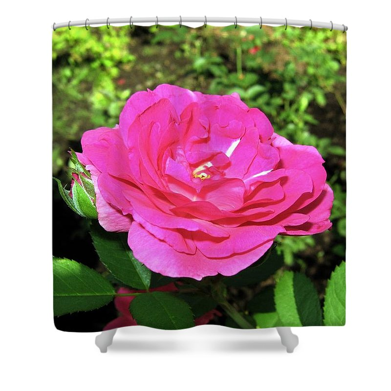 Rose Shower Curtain featuring the photograph Roses 10 by Will Borden