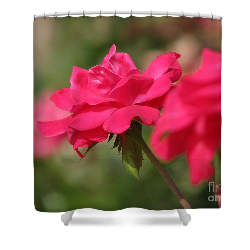 Rose Shower Curtain featuring the photograph Roses by Amanda Barcon