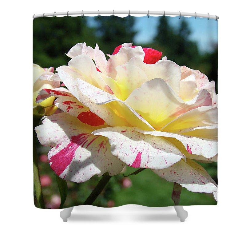 Rose Shower Curtain featuring the photograph Roses White Pink Yellow Rose Flowers 3 Rose Garden Art Baslee Troutman by Baslee Troutman