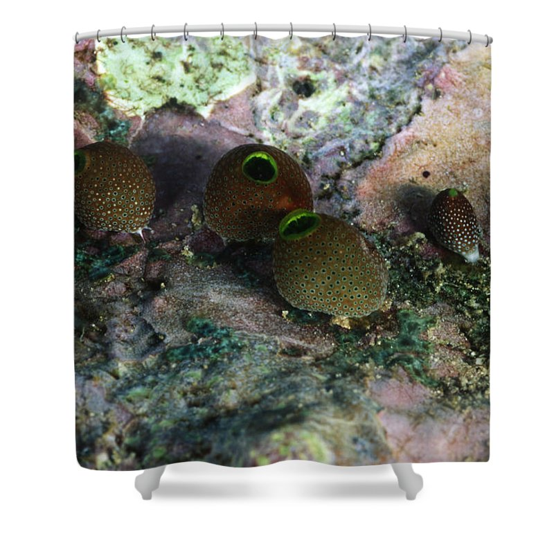 Solomon Islands Shower Curtain featuring the photograph Round Bulb, Didemnum Molleb Tunicates by James Forte