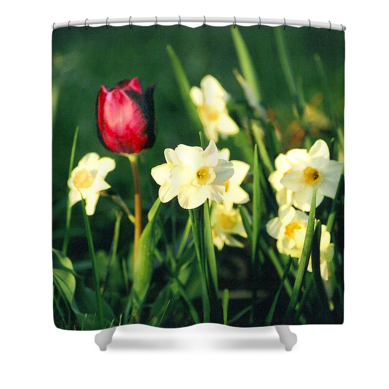 Tulips Shower Curtain featuring the photograph Royal Spring by Steve Karol