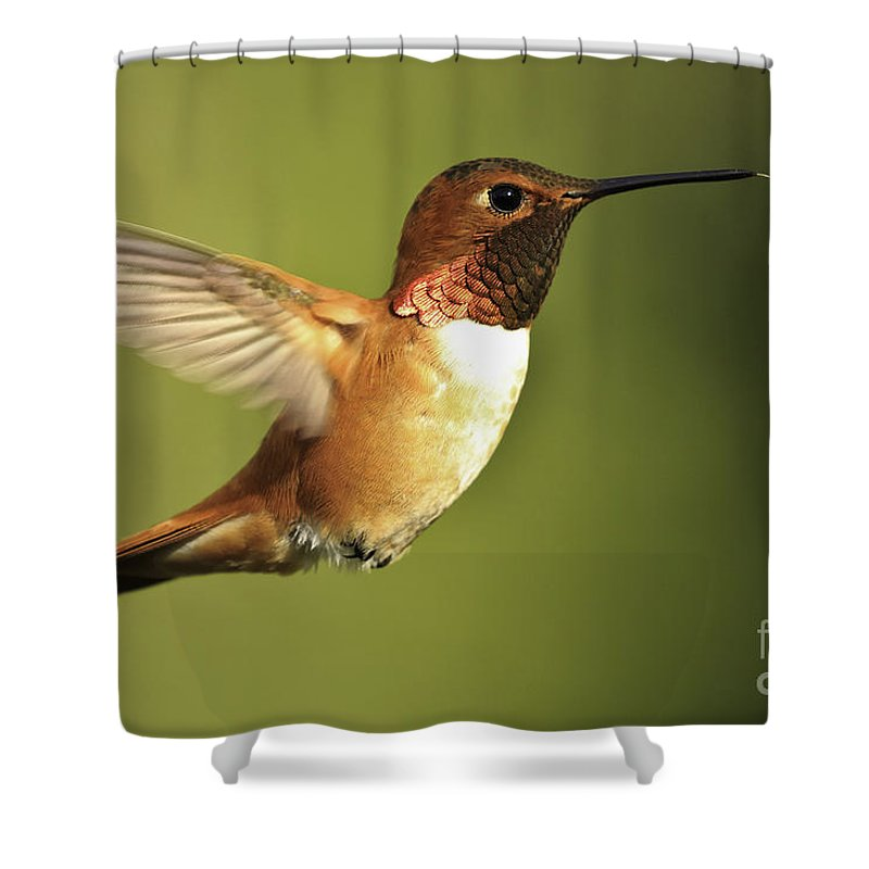 Hummingbird Shower Curtain featuring the photograph Rufous Hummingbird by Tim Hauf