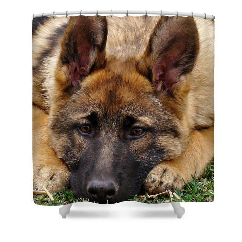 German Shepherd Shower Curtain featuring the photograph Sable German Shepherd Puppy by Sandy Keeton