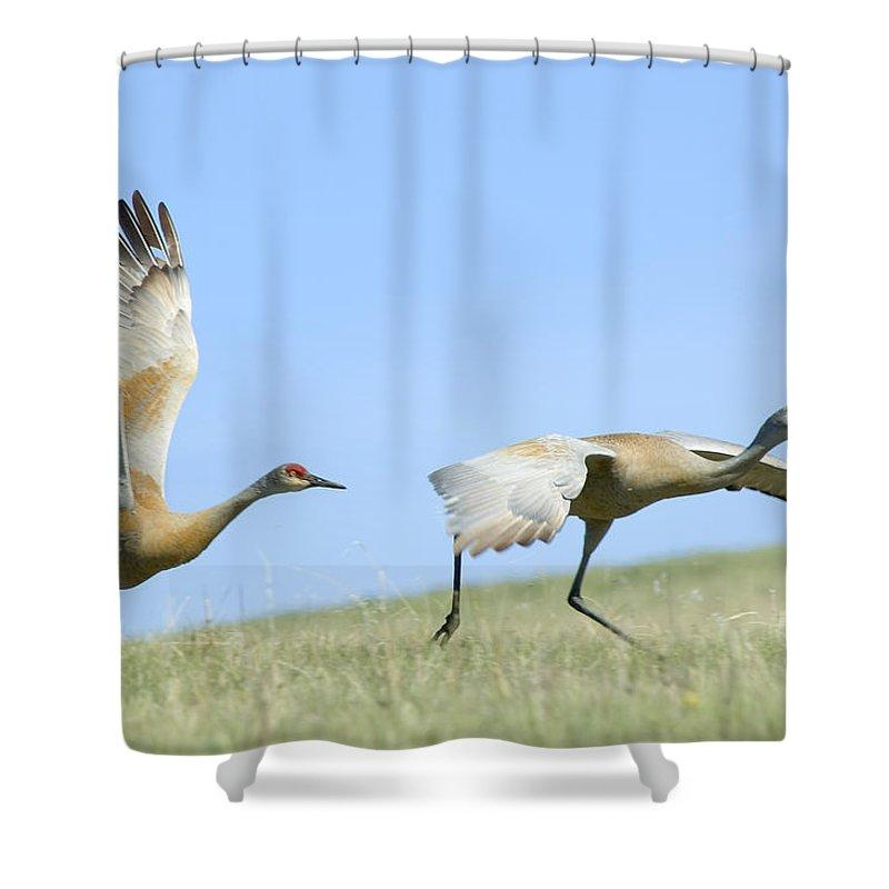 Sandhill Cranes Shower Curtain featuring the photograph Sandhill Cranes Taking Flight by Gary Beeler