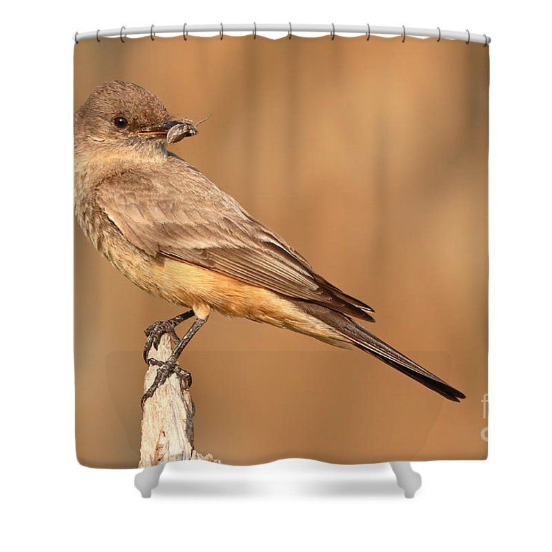 Say's Phoebe Shower Curtain featuring the photograph Say's Phoebe Looking Back With Insect Grasped In Beak by Max Allen