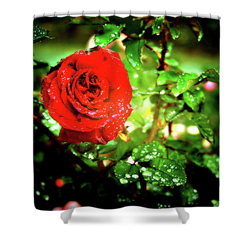 Rose Shower Curtain featuring the photograph Scarlet Raindrops by Douglas Barnard