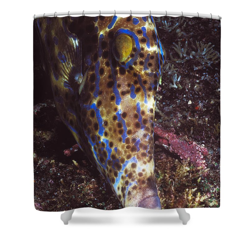 Solomon Islands Shower Curtain featuring the photograph Scribbled Leatherjacket, Aluterus by James Forte