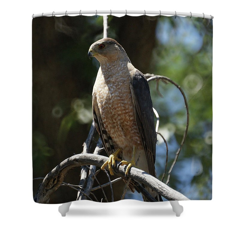 Sharp Shinned Hawk Shower Curtain featuring the photograph Sharp Shinned Hawk by Ernie Echols