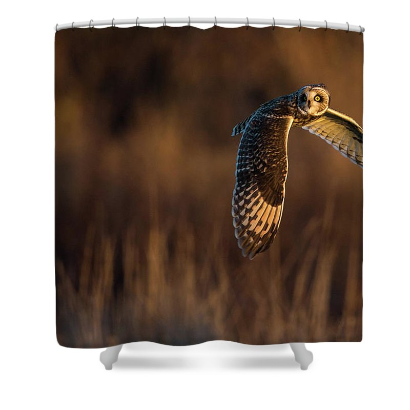 Short-eared Owl Shower Curtain featuring the photograph Short-eared Owl Banking by Max Waugh