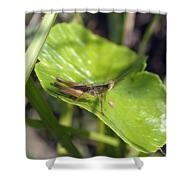 Grasshopper Shower Curtain featuring the photograph Short Winged Green Grasshopper by Kenneth Albin