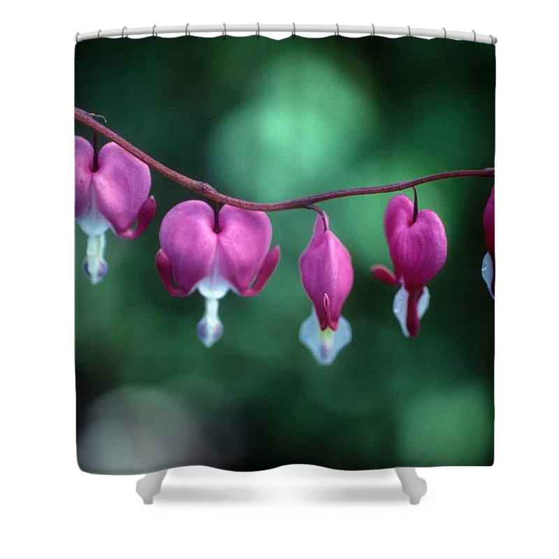 Bleeding Hearts Shower Curtain featuring the photograph Showy Bleeding Hearts by Laurie Paci