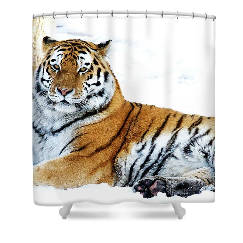 Siberian Tiger Shower Curtain featuring the photograph Siberian Tiger Amur Tiger by Colin Cuthbert