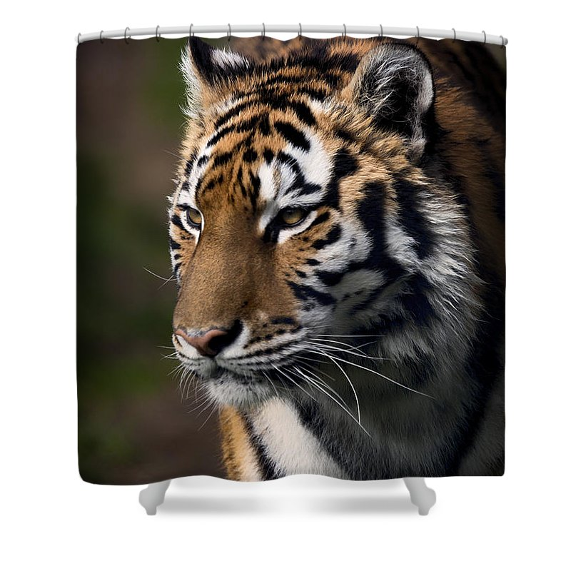 Siberian Tiger Shower Curtain featuring the photograph Siberian Tiger by Randy Hall