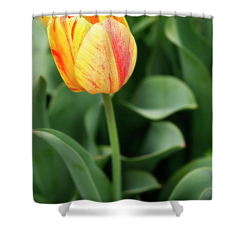 Tulip Shower Curtain featuring the photograph Signs Of Spring by Marilyn Hunt