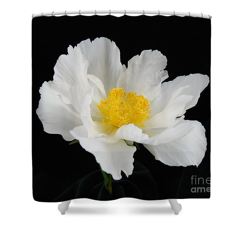 Peonies Shower Curtain featuring the photograph Singel White Peony Magnificence by Terri Winkler