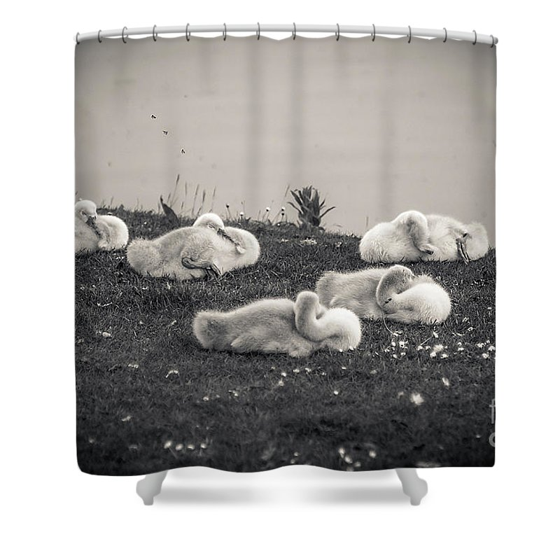 Black And White Shower Curtain featuring the photograph Sleeping Cygnets by Anthony Chapman