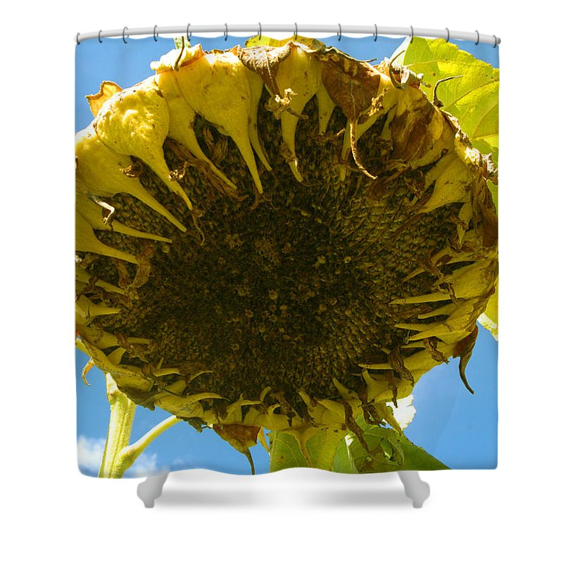 Sunflower Shower Curtain featuring the photograph Sleeping Sunflower by Trish Hale