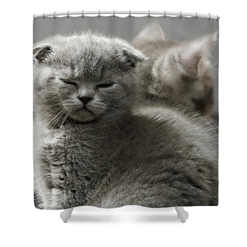 Scottish Fold Cats Shower Curtain featuring the photograph Slumbering Cat by Evgeniy Lankin