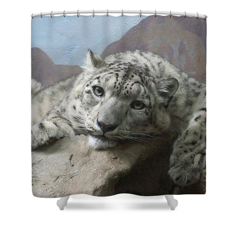 Snow Leopards Shower Curtain featuring the photograph Snow Leopard Relaxing by Ernie Echols