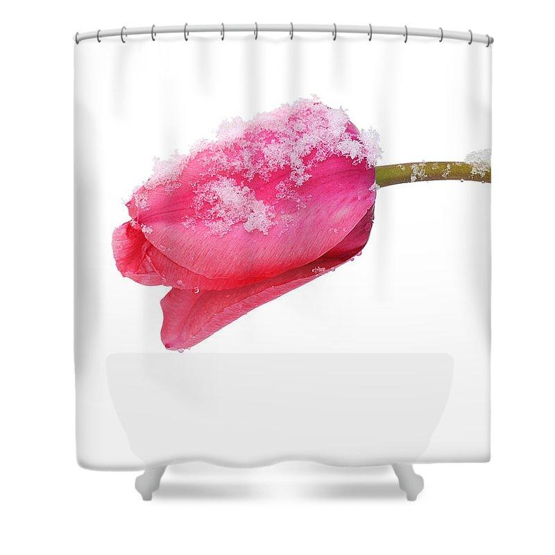 Tulip Shower Curtain featuring the photograph Snow Tulip by Joe Bonita