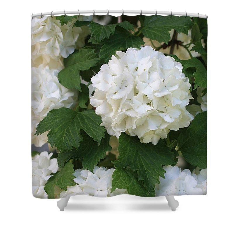 Snowball Tree Shower Curtain featuring the photograph Snowball Tree With Delicate Leaves by Carol Groenen