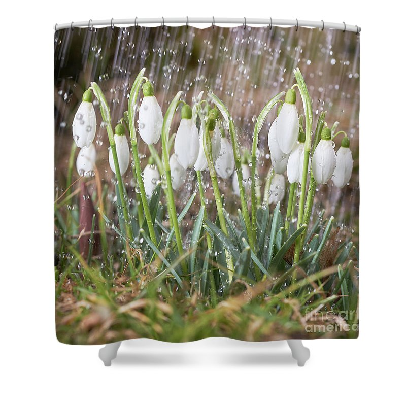 Snowdrop Shower Curtain featuring the photograph Snowdrops In The Garden Of Spring Rain 1 by Valdis Veinbergs