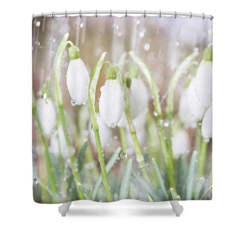 Snowdrop Shower Curtain featuring the photograph Snowdrops In The Garden Of Spring Rain 4 by Valdis Veinbergs