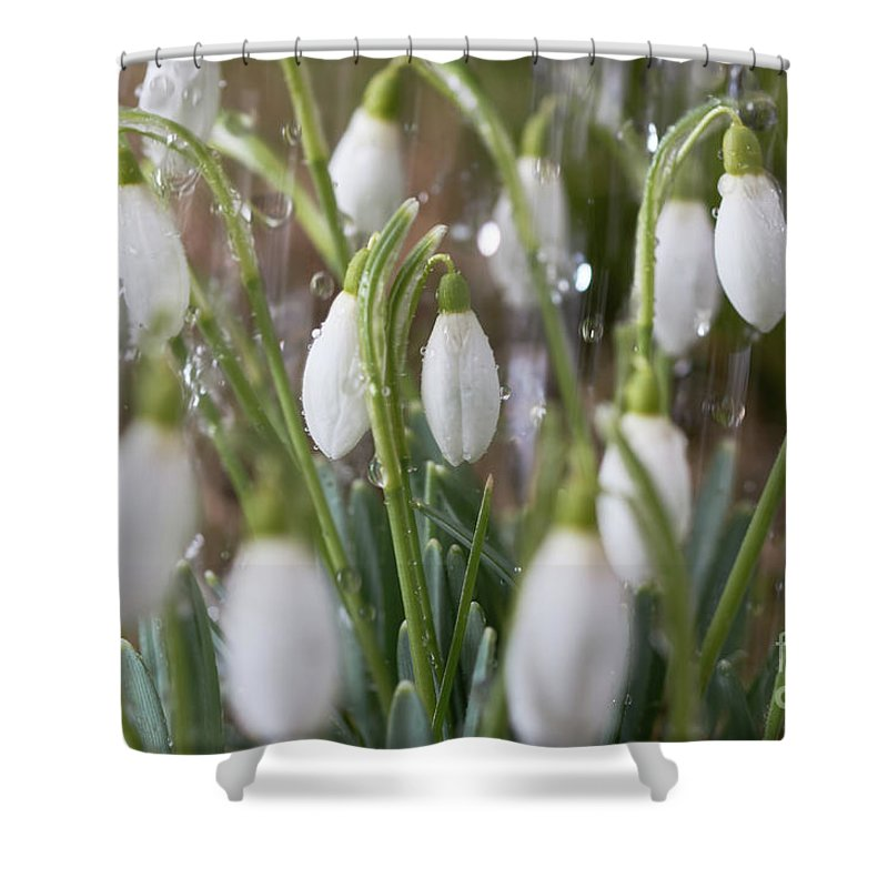 Snowdrop Shower Curtain featuring the photograph Snowdrops In The Garden Of Spring Rain 5 by Valdis Veinbergs