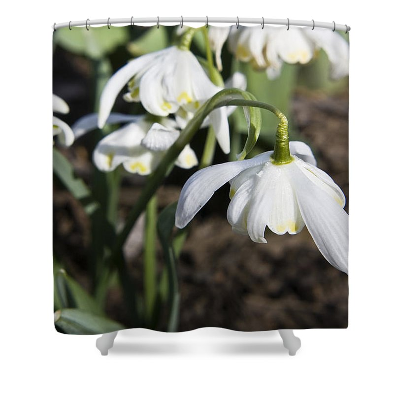 Snowdrops Shower Curtain featuring the photograph Snowdrops by Teresa Mucha