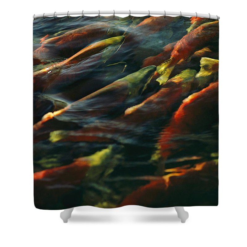 Outdoors Shower Curtain featuring the photograph Sockeye Salmon Swim Upstream To Spawn by Robert Sisson