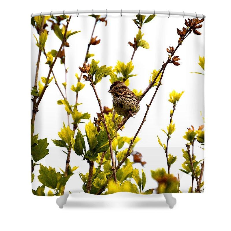 Bird Shower Curtain featuring the photograph Song Sparrow by Belinda Stucki