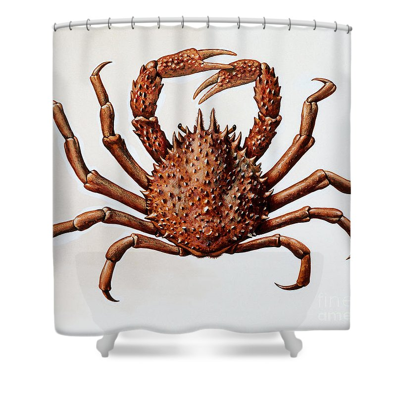 Crabs Shower Curtain Featuring The Drawing Spider Crab Or Spinous By English School