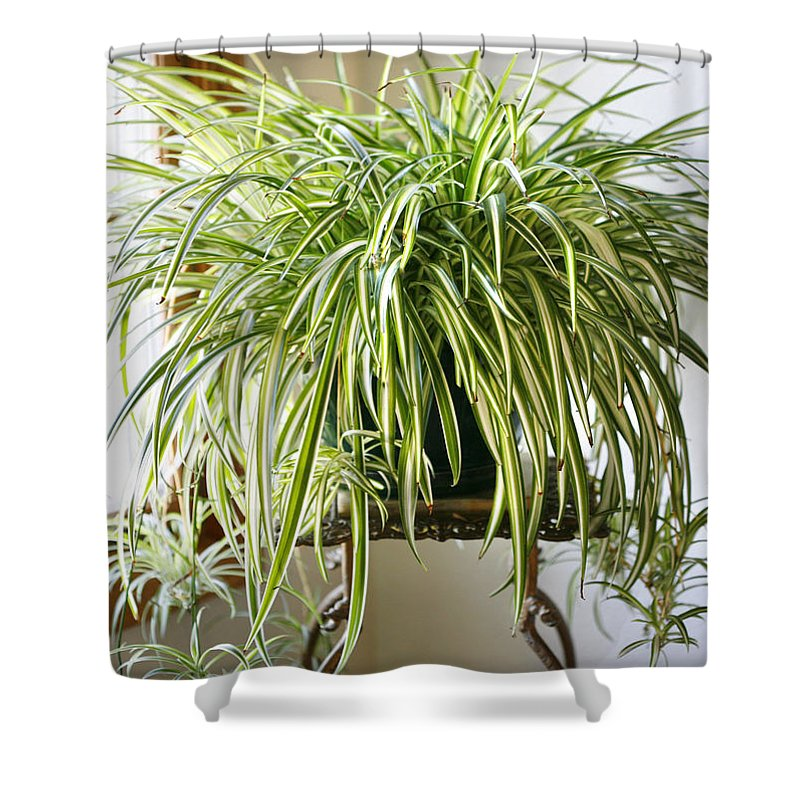 Spider Plant Shower Curtain featuring the photograph Spider Plant by Marilyn Hunt