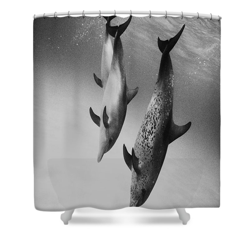 Animal Art Shower Curtain featuring the photograph Spotted Dolphins - Bw by Ed Robinson - Printscapes