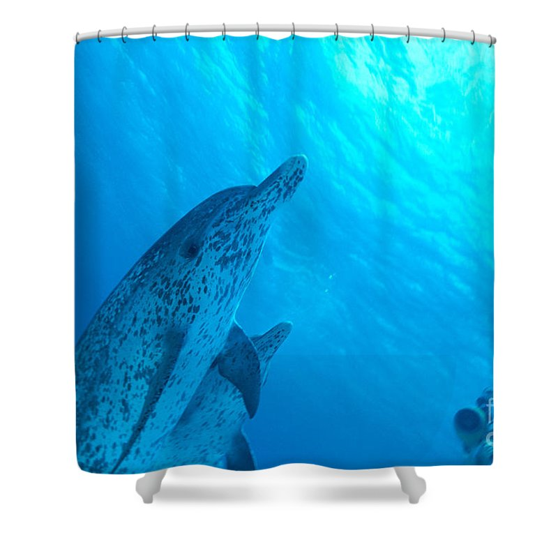 Animal Art Shower Curtain featuring the photograph Spotted Dolphins by Ed Robinson - Printscapes