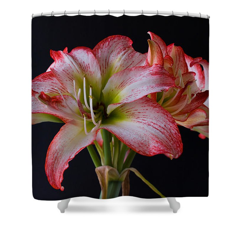 Amaryllis; Flower; Bloom; Blossom; Springtime; Spring; March; Stem. Bulb; Plant; Wildflower; Black; Shower Curtain featuring the photograph Spring Amaryllis by Allan Hughes